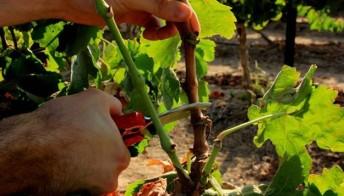 vine-pruning-625x357
