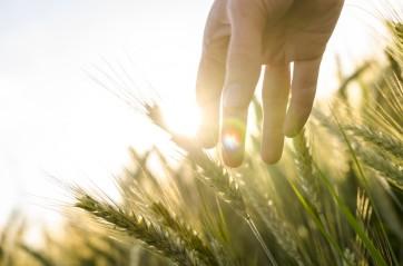 bigstock-Farmer-Hand-Touching-Wheat-Ear-475123481-900x596