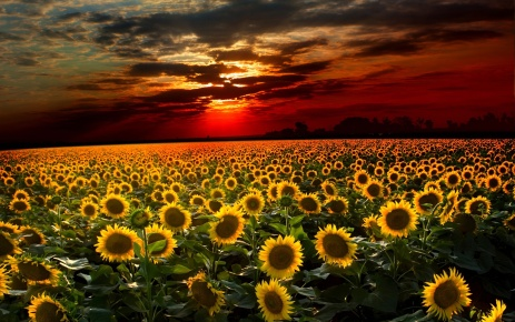 sunflowerhd-wallpapers